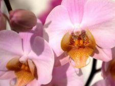 Cele mai frumoase varietati de orhidee Phalaenopsis