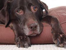 3 semne care indica artrita la caini