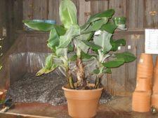 5 sfaturi de ingrijire pentru un banan pitic la ghiveci