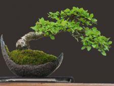 Cum sa ingrijesti un bonsai: 4 ponturi utile