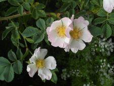 5 plante cataratoare care iti parfumeaza gradina