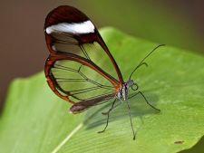 Descopera miraculosul fluture cu aripi de sticla