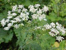 6 plante invazive pe care nu le vrei in gradina