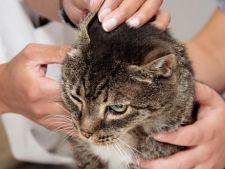 5 semne ale infectiilor urechii la pisica