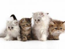 Cele mai prietenoase si jucause rase de pisici
