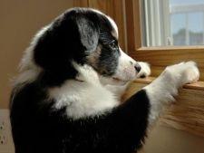Anxietatea de separare la caini. Simptome, cauze, tratament