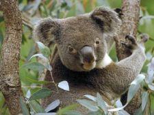 5 lucruri interesante despre eucalipt
