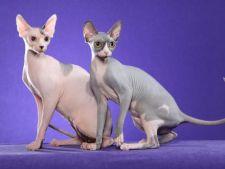 5 rase de pisici fara par
