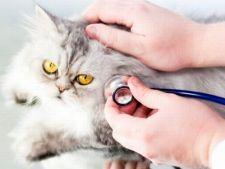 4 boli frecvente la care sunt predispuse pisicile