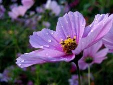 Plantele cu autoinsamantare, solutia pentru o gradina frumoasa an de an