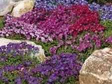 5 plante care formeaza un covor ierbos minunat
