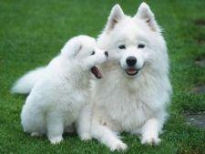 10 lucruri interesante despre cainii din rasa Samoyed