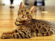 5 trucuri pentru ingrijirea pisicii bengaleze