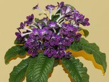 Cum ai grija de Streptocarpus, planta cu flori-trompeta