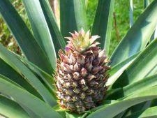 3 pasi de urmat pentru plantarea ananasului in ghiveci