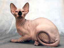 Pisica Sphynx: 7 curiozitati despre cea mai populara si costisitoare rasa de pisici fara par