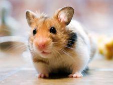 Te bate gandul sa-ti iei un hamster? Iata ce trebuie sa stii inainte!