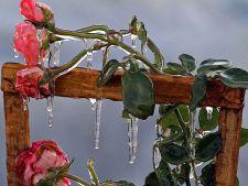 Cum sa iti protejezi trandafirii de vremea rea