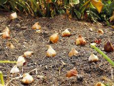 5 secrete pentru a planta bulbii preferati