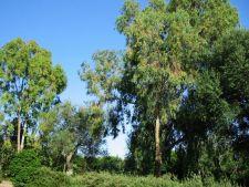 Arborii care extrag aurul din sol si in retin in frunze