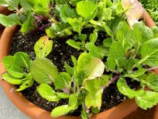 Ce legume asiatice poti planta in gradina proprie