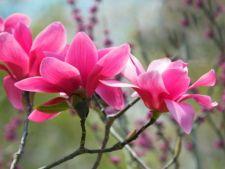 Magnolia, planta frumusetii divine: ce semnificatii au florile ei