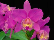 Ce semnificatii au diferitele flori de orhidee