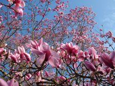 Copaci decorativi pitici, care iti pot infrumuseta gradina in orice sezon