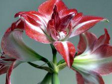 5 ghivece creative pentru plantele tale Amaryllis