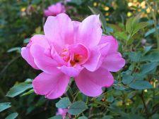 6 specii moderne de trandafiri pentru gradina ta