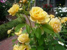 Cele mai frumoase soiuri de trandafiri galbeni