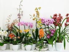 Cum stimulezi o noua inflorire la orhidee
