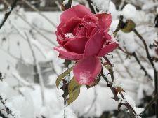 4 trucuri pentru a proteja trandafirii de frig