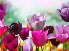 5 curiozitati despre lalele, florile inceputului de primavara