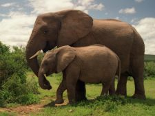Elefantii sunt aproape la fel de empatici ca si oamenii