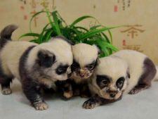 Puiuti de urs panda? Trei catelusi s-au nascut cu o infatisare absolut adorabila!