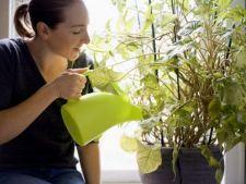 Cum cureti corect plantele de interior
