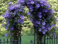 Plante cataratoare parfumate pentru un decor de vis in gradina