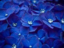 Florile albastre si stiinta din spatele lor!