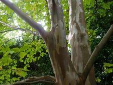 Top 5 copaci cu scoarta superba
