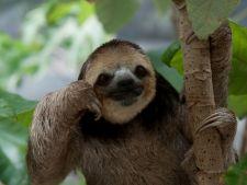 O savanta din America de Sud traieste inconjurata de 200 de lenesi adorabili