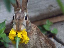 Fereste-te de Iepuras! Uite ce flori din gradina ta nu vor fi atacate de rozatoare