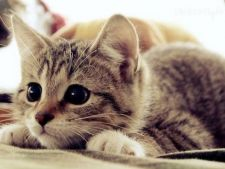 Culoarea blanitei influenteaza personalitatea pisicii. Iata cum!