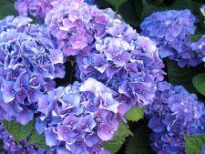 5 varietati noi de hortensii pentru gradina ta. Tu pe care le alegi?
