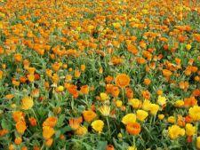 5 plante care alunga tantarii