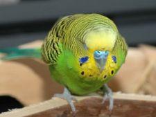 5 semne ca papagalul tau este bolnav