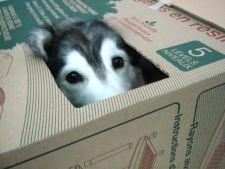 GALERIE FOTO! Un caine Husky crescut de feline se crede...pisica!