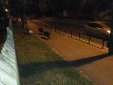 Orasul din Romania unde mistretii se plimba prin centru!