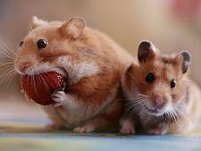 Cele mai periculoase alimente pentru hamsteri