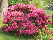 Arbusti pereni cu frunzis si flori superbe pentru o gradina spectaculoasa tot anul